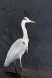 Blue Heron. Blue Heron standing in the water Royalty Free Stock Image