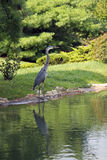 Blue Heron standing at waters edge Royalty Free Stock Image