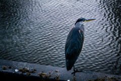 Blue Heron standing Stock Images