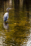 Blue Heron Stands in a Stream Royalty Free Stock Photo