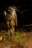 Blue heron stare Royalty Free Stock Images