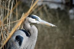 Blue Heron staring into the water stock photography