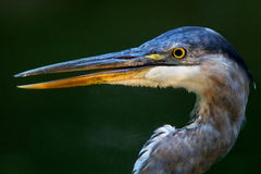 Blue Heron in the Sun Royalty Free Stock Photo