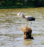 Blue Heron swallowing a Fish royalty free stock images