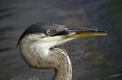 Blue heron holding a small fish Stock Photography