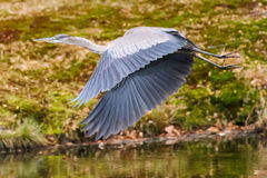 Blue Heron Takes Flight (wings downbeat) Royalty Free Stock Photos