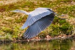 Blue Heron Takes Flight (wings downbeat). Great blue heron takes wings over pond, long beaked head stretched straight ahead, eyes alert, long legs trailing Royalty Free Stock Photos