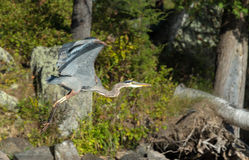 Blue Heron Takes Off Royalty Free Stock Photos