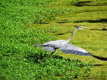 Blue Heron taking off. This photo was taken in Greenfield Park, in Wilmington, North Carolina Stock Photo