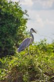 Blue Heron in the Tree in Pantanal, Brazil. stock photos