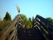 Blue Heron Vigilance Royalty Free Stock Images