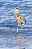 Blue Heron Wades in the Gulf of Mexico Royalty Free Stock Images