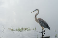 Blue Heron Wades in Water While Hunting. A blue heron searches for fish in the shallow waters of marshes in Eastern Florida stock photo