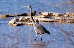 Blue heron wading Royalty Free Stock Images