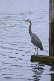 Blue Heron Waiting Stock Photography