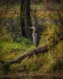 Blue Heron Waiting in the Sun Stock Photo