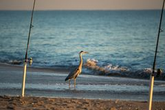 A Blue Heron Waits for a Handout. A waiting Blue Heron might get tossed a fish that is unwanted Stock Images