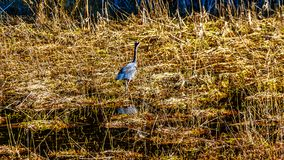 Blue Heron walking in the reeds of Pitt-Addington Marsh at the town of Maple Ridge in the Fraser Valley of British Columbia Canada. Blue Heron walking in the Stock Images