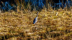 Blue Heron walking in the reeds of Pitt-Addington Marsh at the town of Maple Ridge in the Fraser Valley of British Columbia Canada. Blue Heron walking in the Stock Image