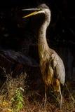 Blue heron walking talking Stock Image