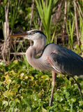 Blue heron walks through the water lillies in Flor Stock Images