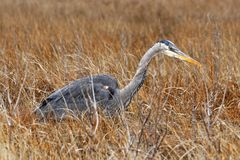 Heron in hiding royalty free stock images