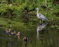 Blue Heron watches Mallard Ducks Royalty Free Stock Photography