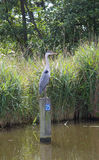 Blue Heron watching. Blue Heron waiting for something to catch in a Dutch canal stock images