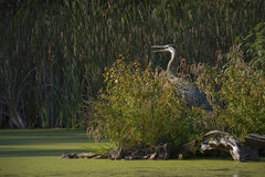 Blue heron at water's edge Stock Images