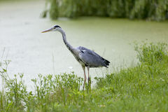 Blue heron on the waterside Stock Image