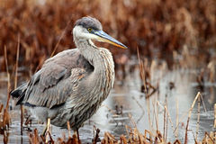 Blue Heron in wetland Royalty Free Stock Photography