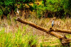 Blue Heron and White Egret sitting on an old Tree Branch along the Olifants River in Kruger Park Stock Photos
