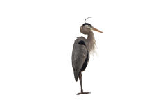 Blue Heron on White Royalty Free Stock Image