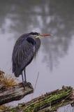 A blue heron Stock Photography