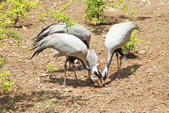 Blue herons and little chick. Are feeding Stock Image