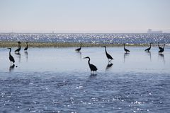 Blue herons at Low tide Royalty Free Stock Images