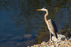 Blue Herron on Bank Royalty Free Stock Images