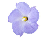 Blue Hibiscus Royalty Free Stock Images