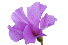 Blue hibiscus flower Royalty Free Stock Images