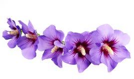 Blue hibiscus flowers Stock Photo