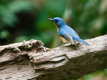 Blue hill flycatcher. Bird blue hill flycatcher in thailand Stock Photography