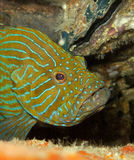Blue hind/grouper. A blue hind looks out for the rocks underwater Royalty Free Stock Image