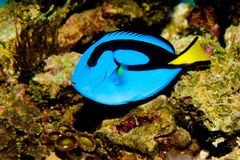 Blue Hippo Tang. Surgeonfish in Aquarium Royalty Free Stock Image