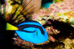 Blue Hippo Tang Fish Stock Image