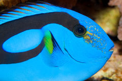 Blue Hippo Tang Portrait in Aquarium Stock Image