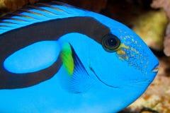 Blue Hippo Tang Portrait in Aquarium Stock Image