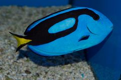 Blue Hippo Tang. The Blue Hippo Tang is also called the Pacific Blue Tang, and Hepatus or Regal Tang. Regardless of common name, Paracanthurus hepatus fish is royalty free stock image