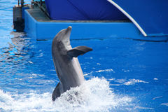Blue Horizons Dolphin Show, SeaWorld, San diego, California. USA with playful dolphins, flying birds and thrilling performers keep you fully entertaned royalty free stock photography