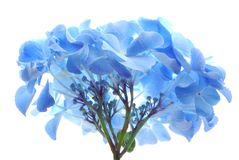 Blue hortensia Royalty Free Stock Photo