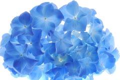 Blue hortensia Stock Image